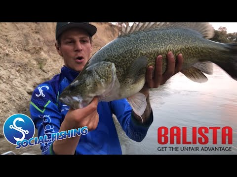 Murray Cod Smashes Balista Hunchback (Mitch Condell)