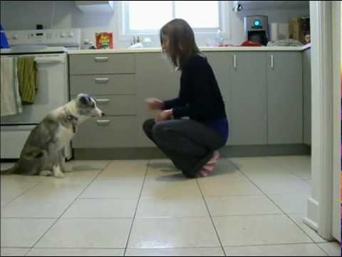 5 month old border collie tricks!