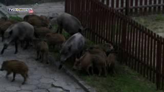 Dziki opanowały  plac zabaw w Świnoujściu !
