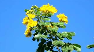 〝 Cassia coluteoides 〟〈 カッシア 小葉のセンナ 〉♬ Girl From Ipanema