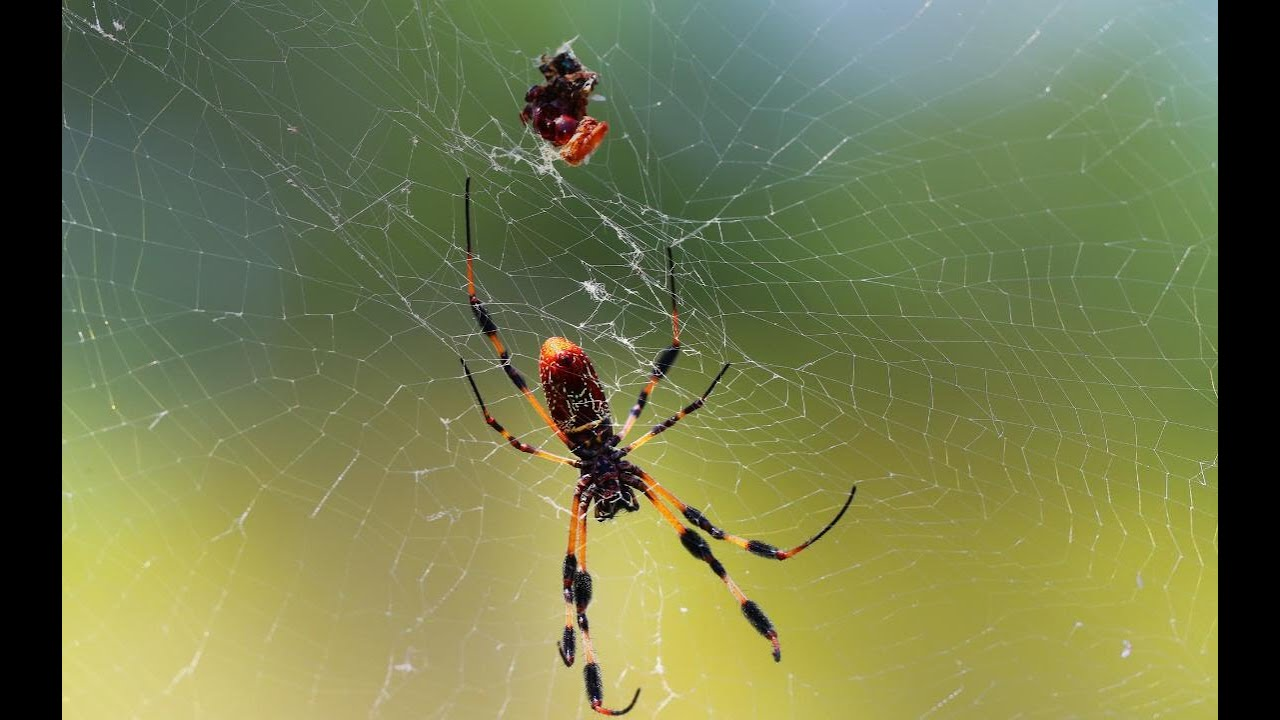 It's fall and banana spiders are back in South Florida