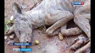 В Ордынке охотятся на чупакабру, убивающую по ночам домашних животных