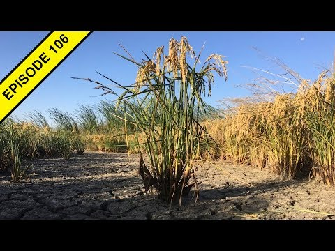 How To Grow Rice In The Great California Desert!