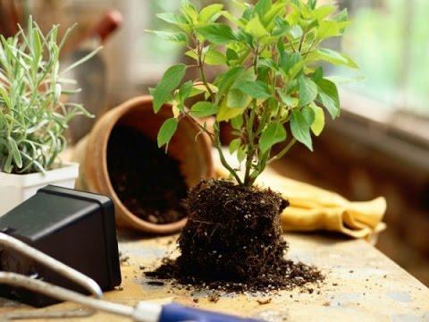 ПЕРЕСАДКА комнатных растений и цветов: как и когда ЛУЧШЕ? 80