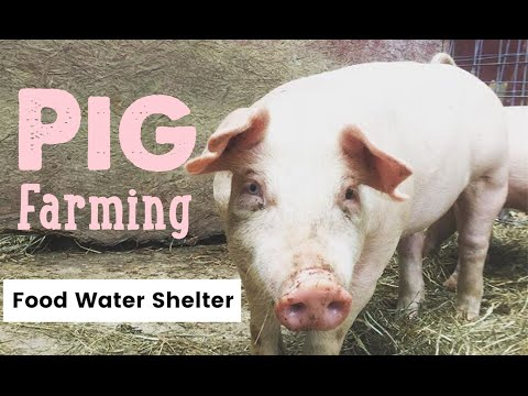 Pig farming what you for raising pigs waterers feeders and what you for raising pigs waterers feeders and housing publicscrutiny Choice Image