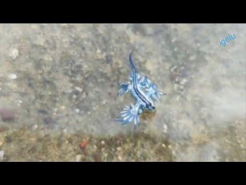 Los dragones azules se dejan ver en Canarias