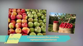 Эх, яблочко! Правила сбора и хранения самого популярного в России фрукта.