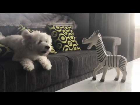 Bichon Australian Terrier