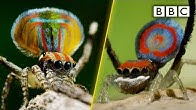 Peacock spiders, dance for your life! - BBC