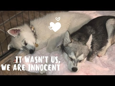 Adorable Alaskan Klee Kai puppies getting into trouble, FUNNY!
