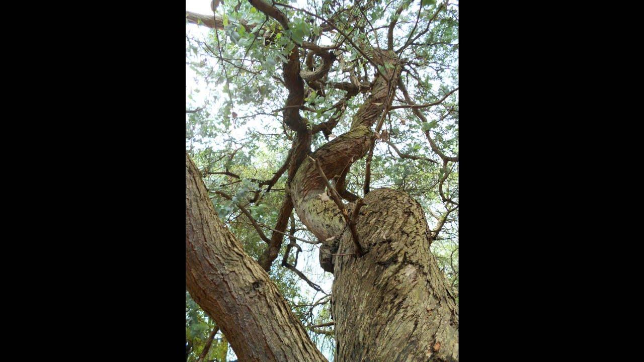 Plant ID: Argyle Apple (Eucalyptus Cinerea)