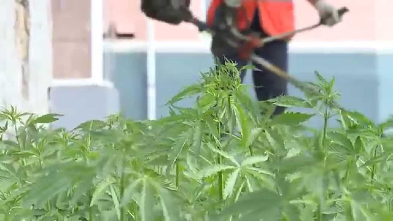 Конопля воткинск марихуана на ямайке сколько стоит