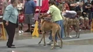 Greensboro Nc Dog Show 8 8 09 Great Danes Female Classes I
