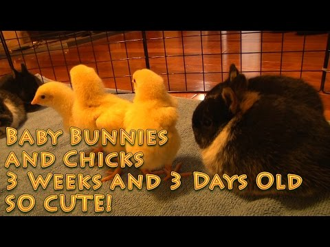 Baby Bunnies And Chicks 3 Weeks And 3 Days Old SO CUTE