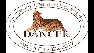Прямая трансляция пользователя DANGER Питомник бенгальских кошек