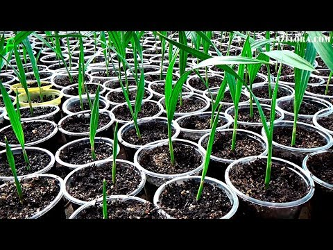 Размножение Вашингтонии нитеносной семенами. Уход за сеянцами