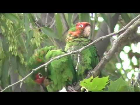 Wild parrots of Sunnyvale ~2010~