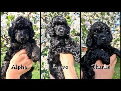 Our beautiful dwarf poodle puppies