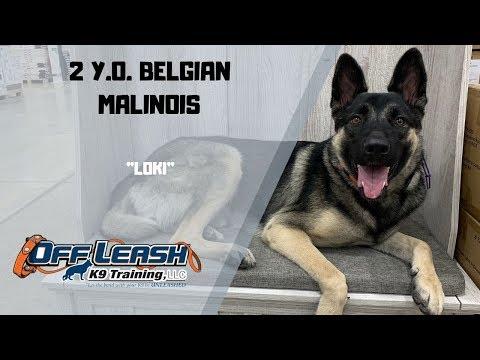 belgian-malinois/dog-training