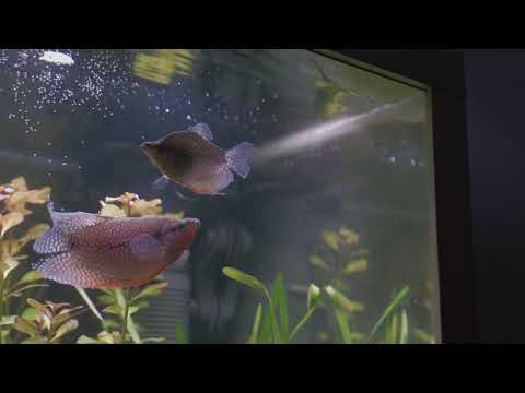 Pearl Gouramis Spawning
