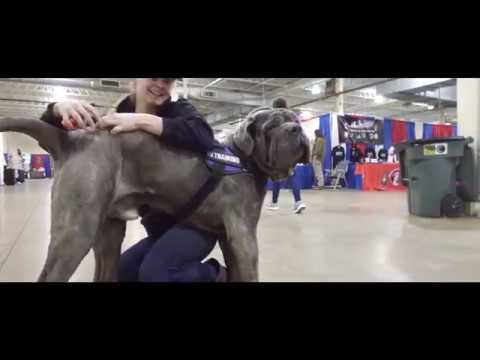 Best Dog Training in Columbus, Ohio! 11 Month Old Neapolitan Mastiff, Kimbo!