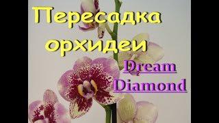 ОРХИДЕЯ phal.Dreаm Diamond:СЛАБОНЕРВНЫМ НЕ СМОТРЕТЬ,корни,ПЕРЕСАДКА.Привет Марине!