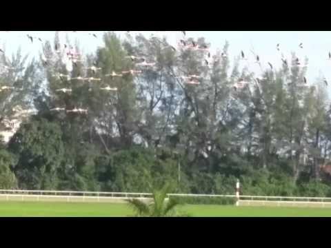 Flamingos Hialeah Park