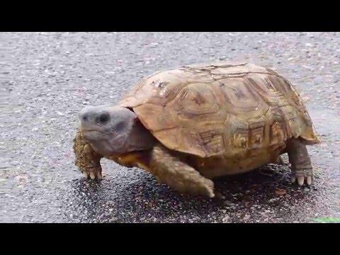 Африканская черепаха киникс или Шарнирная