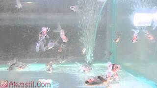 Золотая рыбка - Ситцевый телескоп. Аквариумные рыбки. Аквариумистика.