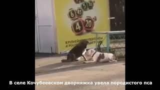 Бездомный пёс украл собаку
