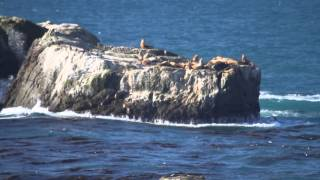 Steller Sea Lions at Sea Lion Rocks off Fort Ross State Historic Park