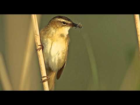 Sedge Warbler Bird Call Bird Song