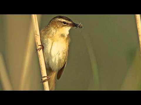 Sedge Warbler Bird Call Bird Song