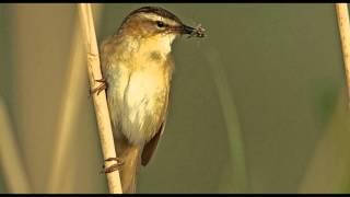 Download Mp3 Sedge Warbler Bird Call Bird Song