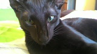 Атака кота Ориентала на оператора! Oriental cat attacks!