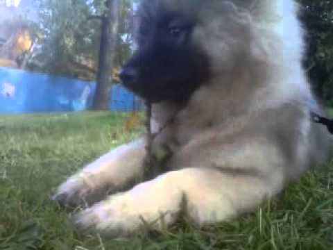Keeshond puppy eating a leaf