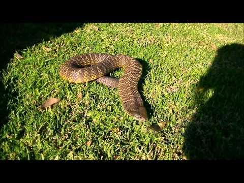 Sydney Snake Catcher Death adder, Tiger snake, Eastern brown snake