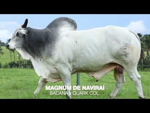 LOTE 02 - MAGNUM DE NAVIRAÍ