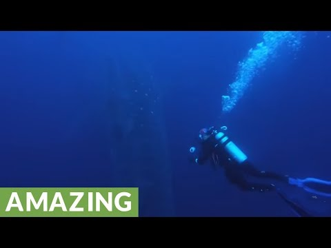 Scuba diver scrambles to avoid whale shark's approaching tail