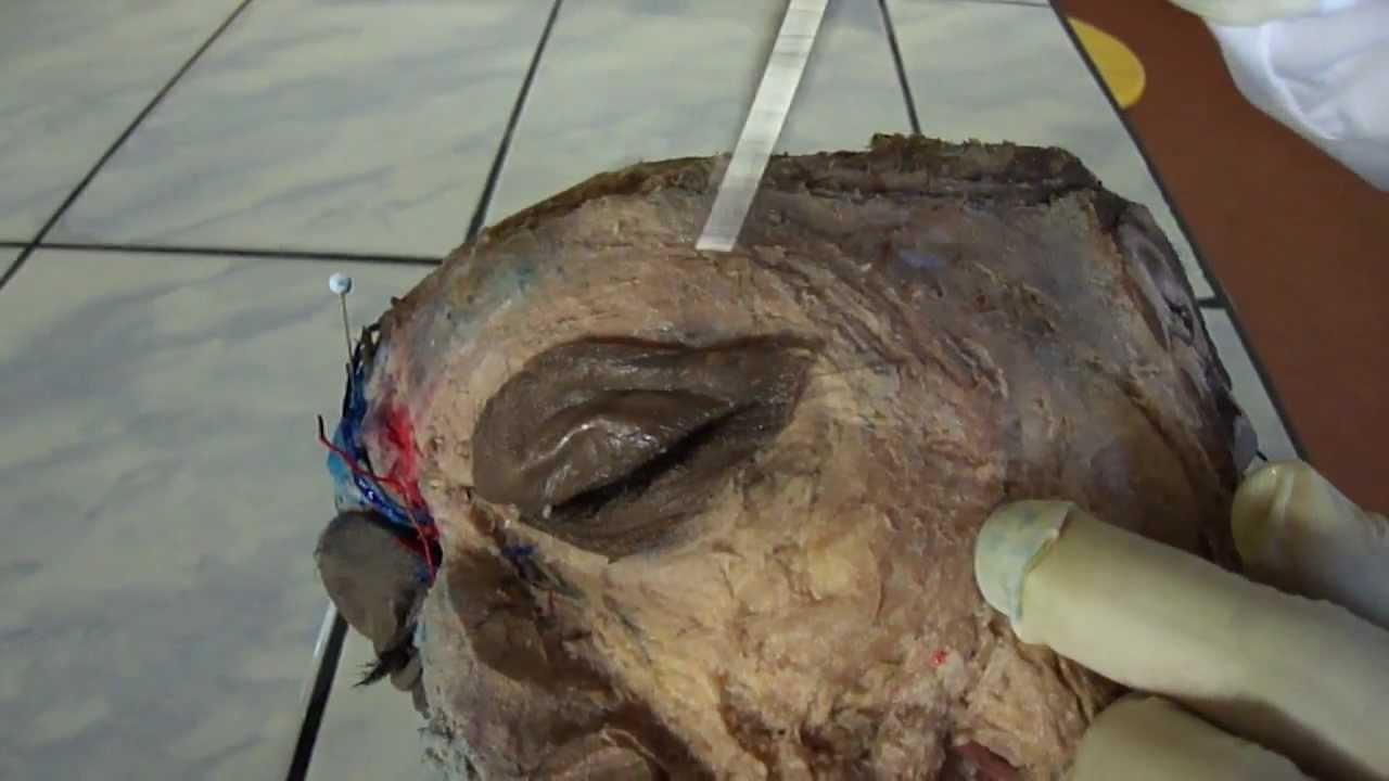 Musculos de la cara hd youtube - Rodillo para lacar ...