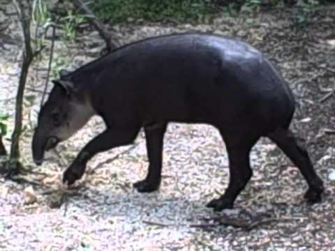 Belize's national animal, the Tapir