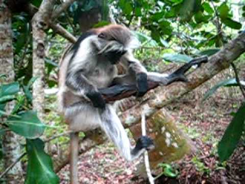 Kirk's Red Colobus monkey (Zanibar Red Colobus) eating charcoal - Jozani Forest, Zanzibar, Tanzania