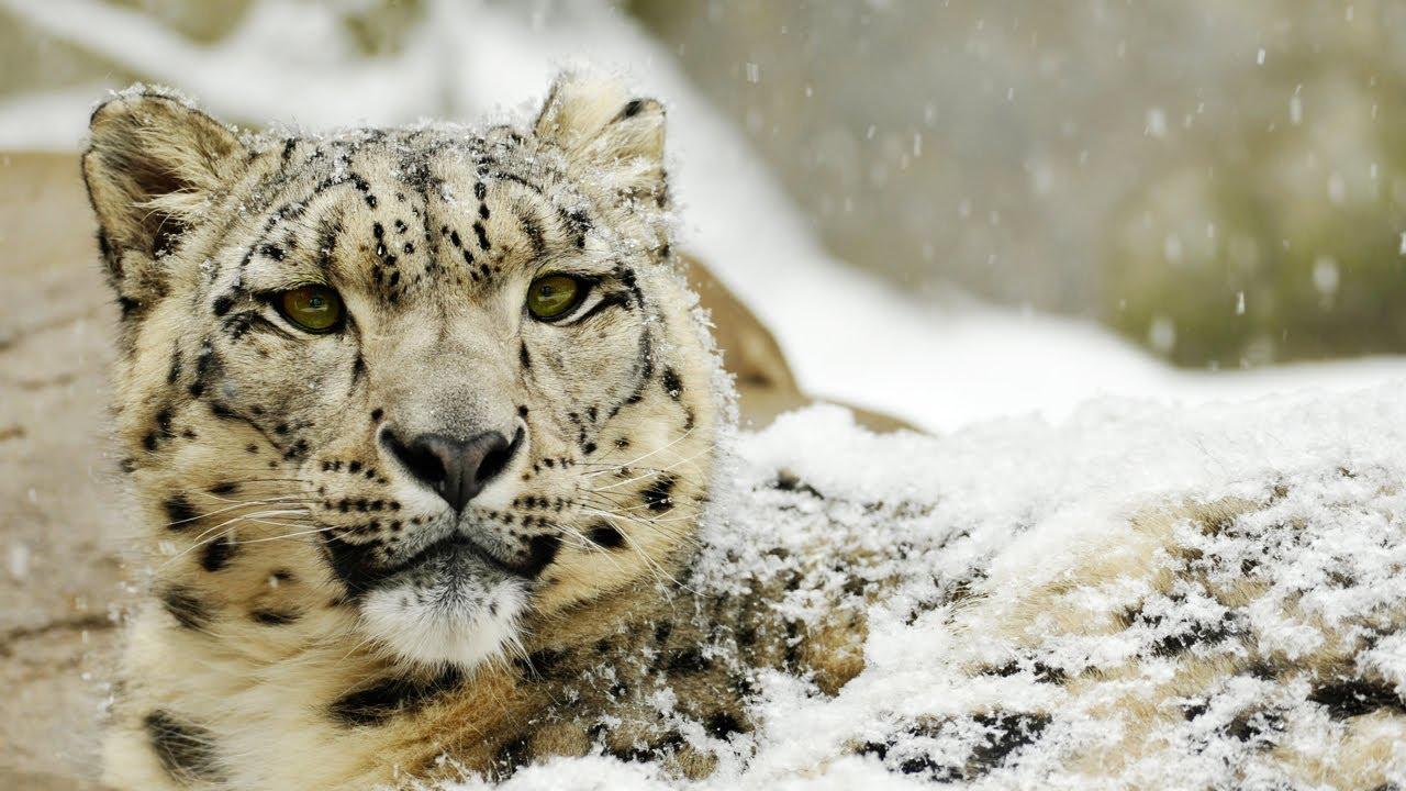 Snow Leopard Like Cat