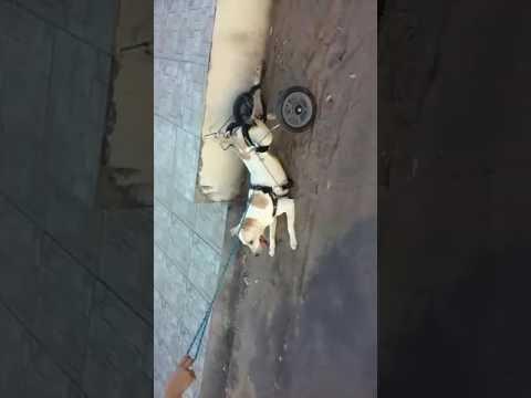 Vídeo mostra cachorrinho em cadeira de rodas nas ruas de Bom Jesus da Lapa