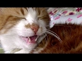 猫と本当に会話ができるのか猫に聞いてみた♥♥猫との会話を楽しむ動画 Conversation with a cat