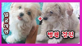 강아지/ 눈물자국 말티푸 행복이의 병원검진과 얼굴자랑(…