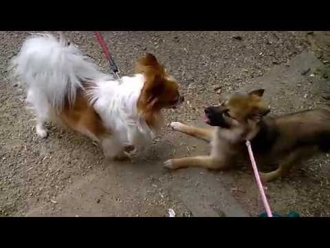 Pomeranian Husky Mix Meets King Charles Spaniel!
