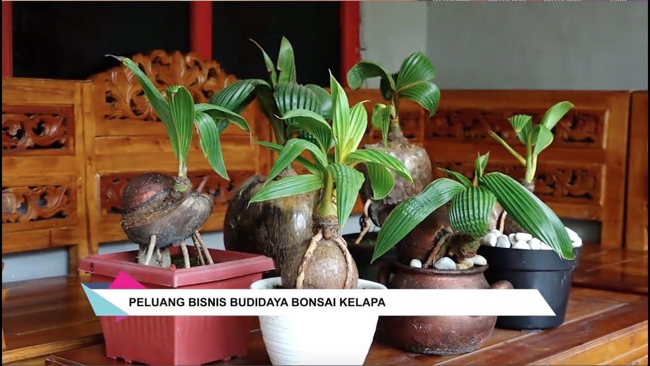 Peluang Bisnis Budidaya Bonsai Kelapa Okuta Marketing Blog