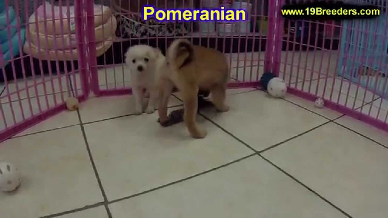 Pomeranian Puppies For Sale In Des Moines Iowa Ia Bettendorf