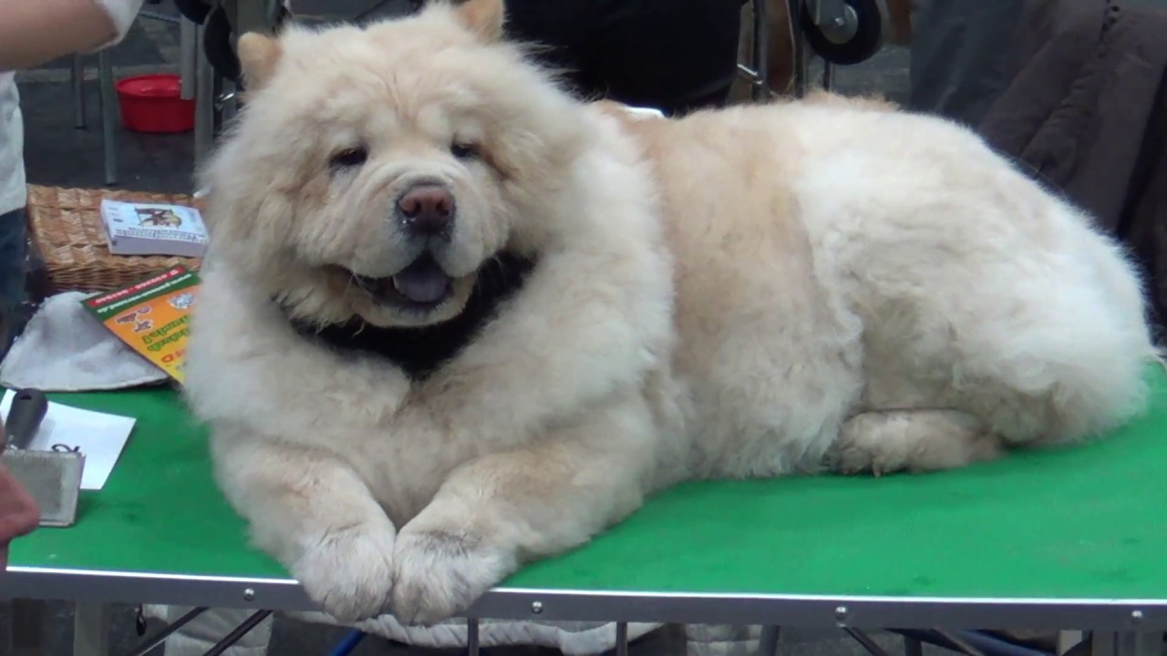 chow chow hund youtube. Black Bedroom Furniture Sets. Home Design Ideas